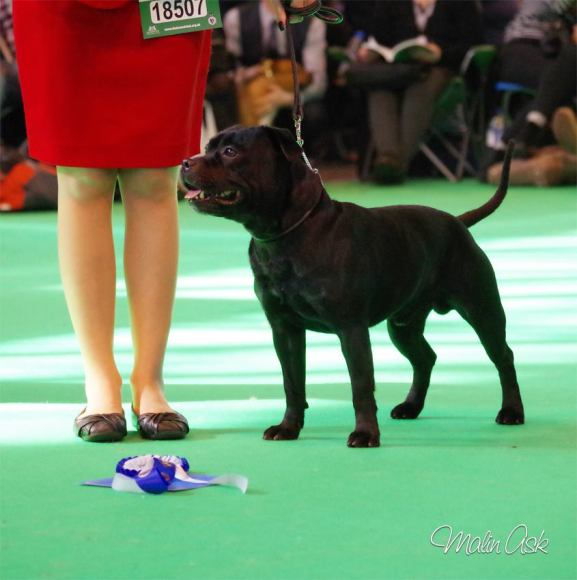 Rafa CRUFTS 2016 nr 2 mid limit